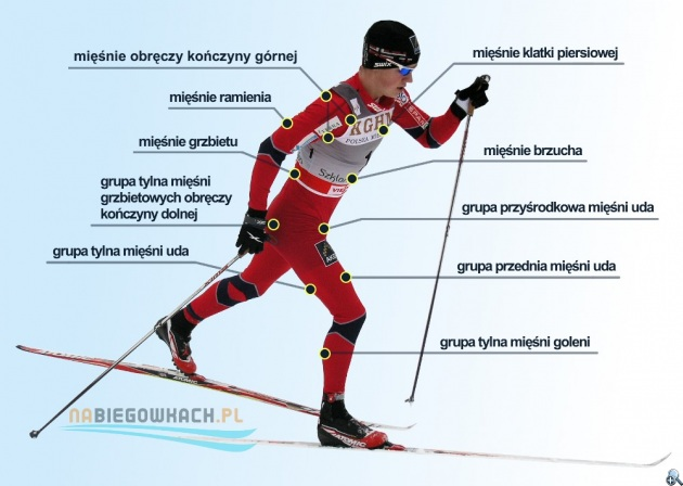 Grupy mięśniowe zaangażowane podczas biegu na nartach